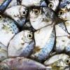 Industria ittica in ginocchio nella laguna di Orbetello: oltre 200 tonnellate di pesci morti