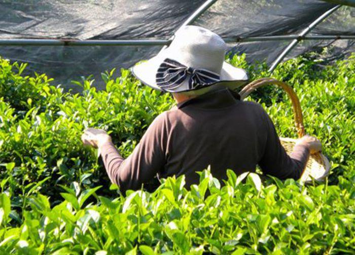 Tra le camelie della Lucchesia cresce il tè toscano